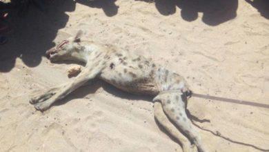 Photo of Garrisa: Hyena invades house and kills sleeping boy, 2