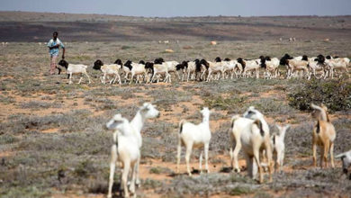 Photo of In Somalia massive livestock losses have severely impacted livelihoods and food security