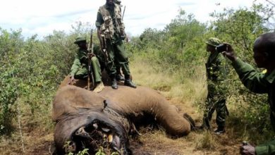 Photo of No evidence of Al-Shabaab role in elephant poaching, US says