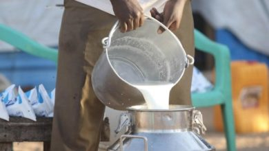 Photo of In Mogadishu, imported dairy cows jumpstart local milk industry