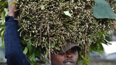 Photo of We're ready to lose Somalia market, miraa traders say