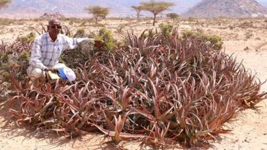 Photo of New Species of Aloe Discovered in Somaliland