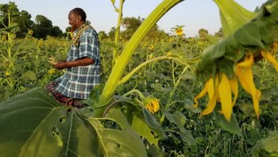 Photo of Mandera farmers find gold in sunflower farming