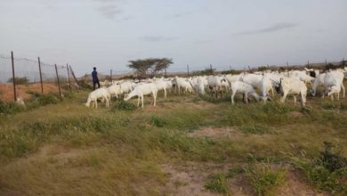 Photo of Management of grazing lands in Puntland saves pastoralists and their herds from drought