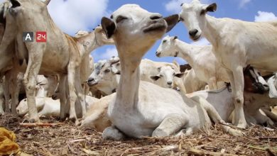 Photo of Livestock Prices Rise as Eid al-Adha Approaches