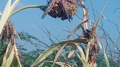 Photo of Locusts add to the woes of Somali farmers in flood-hit Hiran region