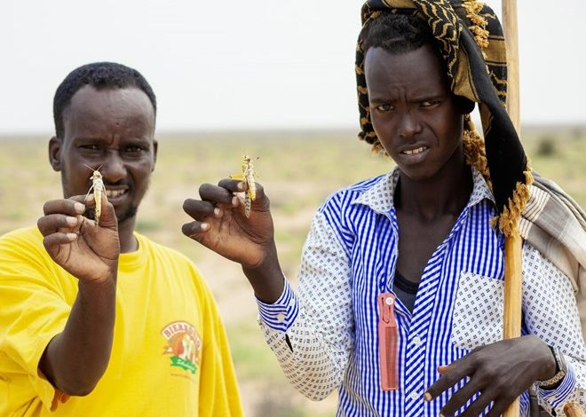 Photo of Locust outbreak, most serious in 25 years, hits East Africa