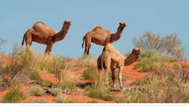 Photo of Somali outrage over Australia camel slaughter