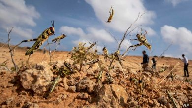 Photo of Somalia Starts Aerial Spraying to Stop Desert Locust Invasion