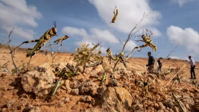 Photo of UN continues support to fight desert locust in Somalia amid COVID-19 response