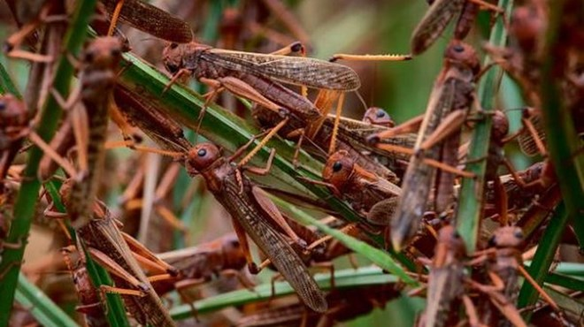 Photo of IGAD warns of new locust swarms forming in East Africa